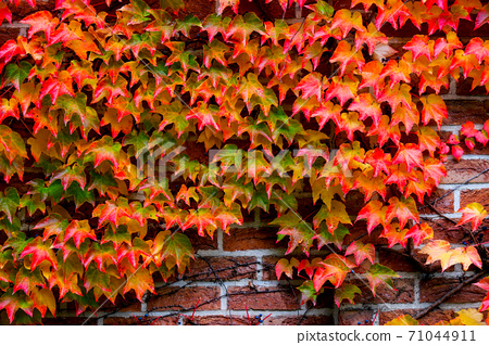 Red-colored ivy leaves covering the brick wall 71044911