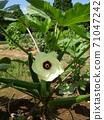 Glittering white flowers of okra 71047242