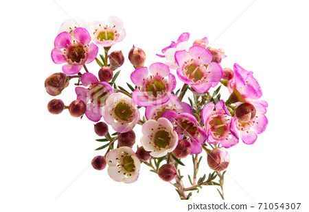 flowers of wax myrtle isolated 71054307