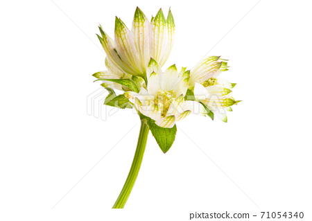 Astrantia flower isolated 71054340