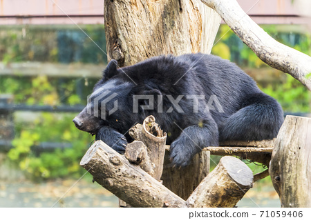 宮城縣仙台市的Tskinowaguma擱在一棵樹上 71059406