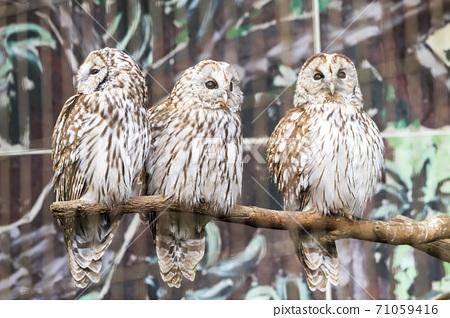 宮城縣仙台市本多貓頭鷹棲息在樹枝上 71059416