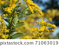 Creatures, insects, Hierodula patellifera, females in late autumn. Ambush with Solidago altissima. It is a model of attack mimicry 71063019