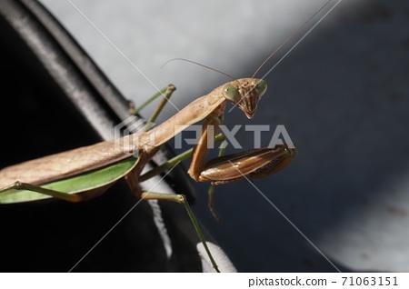 秋螳螂 71063151