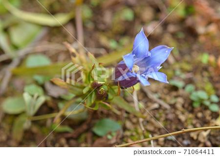 植物:龍膽科 71064411