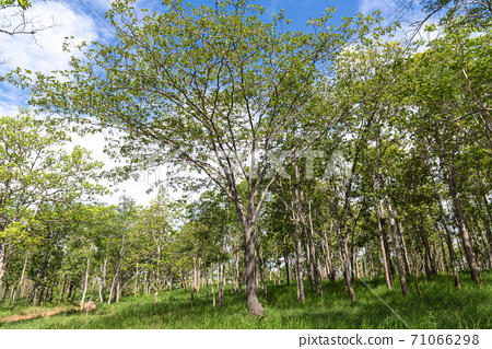 Forest trees. Blue sky in background. 71066298
