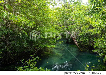 Mangrove trees along the turquoise green water in the stream. mangrove forests in Krabi province Thailand 71066779
