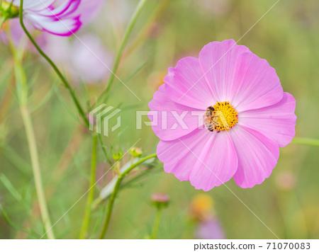 秋季傳統,美麗多彩的波斯菊領域 71070083