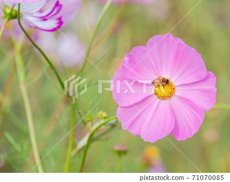 秋季傳統,美麗多彩的波斯菊領域 71070085