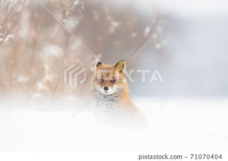 北雪的北狐狸冬天 71070404