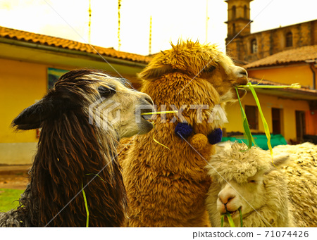 Alpacas eating together 71074426