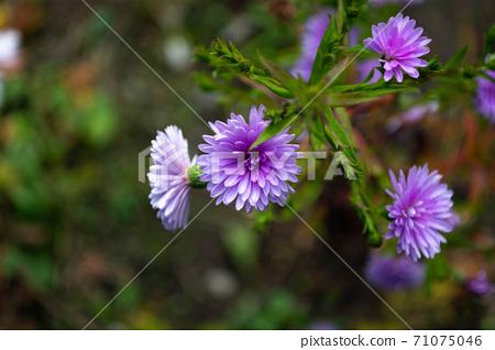 Beautiful blue flowers blooming in October 71075046