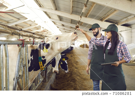 Workers looking after cows on dairy farm and using tablet to record cattle statistics 71086281
