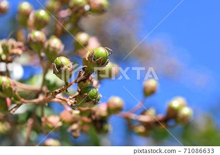 백일홍의 열매 71086633