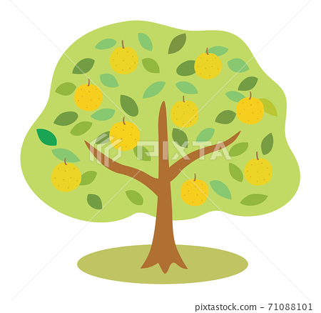 많은 열매가 된 배나무 71088101