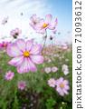 盛開的花朵 71093612