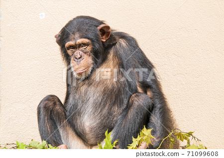 宮城縣仙台市無動力的黑猩猩 71099608