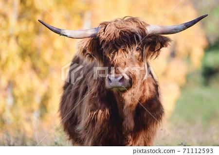 A Highlander cow originally from Scotland 71112593