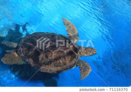 sea turtle swim in the pool 71116370