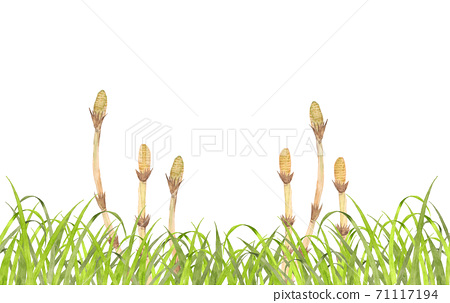Spring field where horsetail grows 71117194