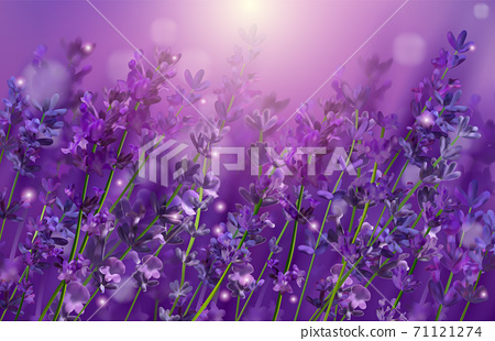 Violet lavender field. Flowers lavender and sunset glitter over. Blooming Violet fragrant lavender flowers. Illustration with for perfumery, health products, wedding. France. Vector illustration. 71121274