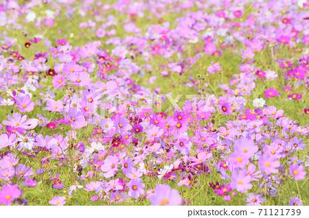 Autumn scenery cosmos flowers 71121739