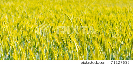 Field of green grain. Many ears of grain on sunny day. Rural agricultural theme 71127653
