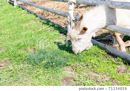 在牧場的一隻山羊 71134859