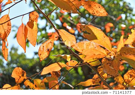 나무 : 누마미즈키 누마미즈키과 71141377