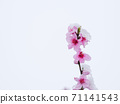 Peach flowers in bloom in the Japanese spring after a sudden and rare snowstorm 71141543