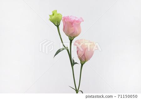 하얀 배경의 분홍색 리시안셔스 71150050