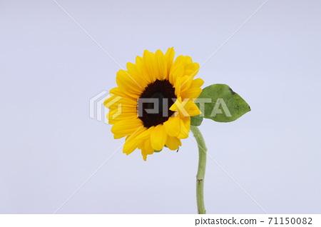 하얀 배경의 노란색 해바라기 71150082