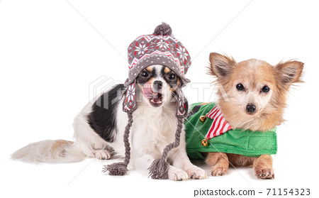 Two chihuahua dressed for Christmas 71154323