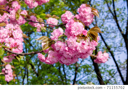 pink cherry blossom on a sunny day. nature beauty in springtime 71155702
