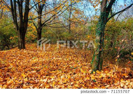 sunny autumn scenery in the deciduous forest. trees in colorful foliage. ground covered with fallen leaves. seasonal change of nature. warm and dry weather 71155707