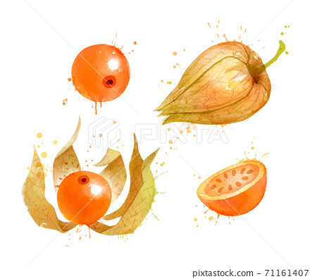 Watercolor vector illustration of Physalis 71161407