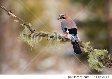 Eurasian jay sitting on branch in autumn nature. 71165041