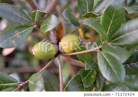 Ubamegashi水果橡子 71172424