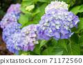 Blue-purple young hydrangea flowers 71172560