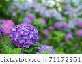 Purple hydrangea flowers with bokeh in the background 71172561