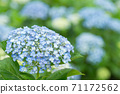 Blue and white hydrangea flowers with bokeh in the background 71172562