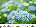 Blue and white hydrangea flowers with bokeh in the background 71172563
