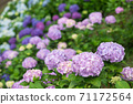 Light purple hydrangea flowers with colorful bokeh in the background 71172564