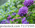 Purple hydrangea flowers in the rain with bokeh in the background 71172565