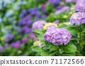 Light purple hydrangea flowers with colorful bokeh in the background 71172566