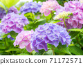Bright purple to pink hydrangea flowers 71172571