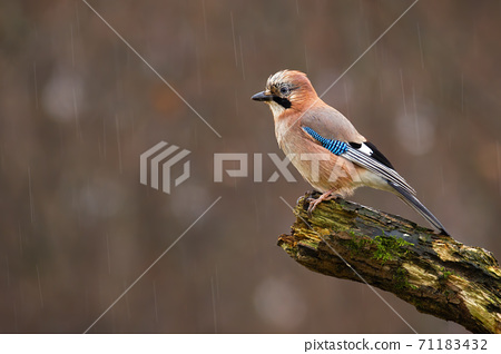 Eurasian jay sitting on wet branch in autum rain 71183432