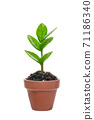 Young leaves of Zanzibar Gem where new shoots grow 71186340