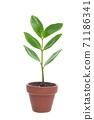 Young leaves of Zanzibar Gem where new shoots grow 71186341