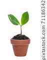 Young leaves of Zanzibar Gem where new shoots grow 71186342